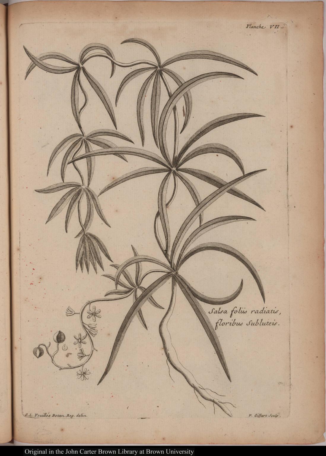 Salsa foliis radiatis, floribus subluteis.