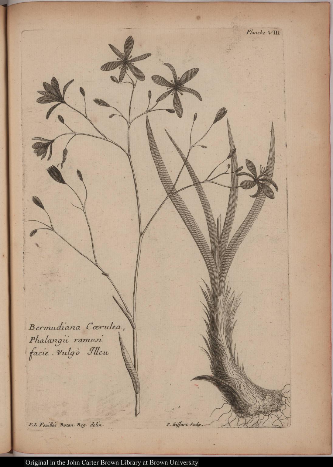 Bermudiana Coerulea, Phalangii ramosi facie. Vulgò Illeu