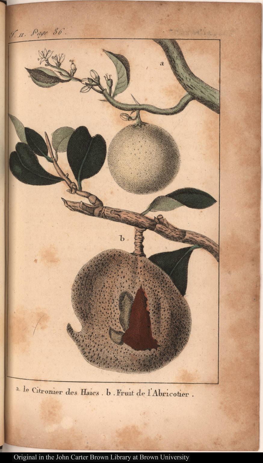 a. le Citronier des Haies. b. Fruit de l'Abricotier.