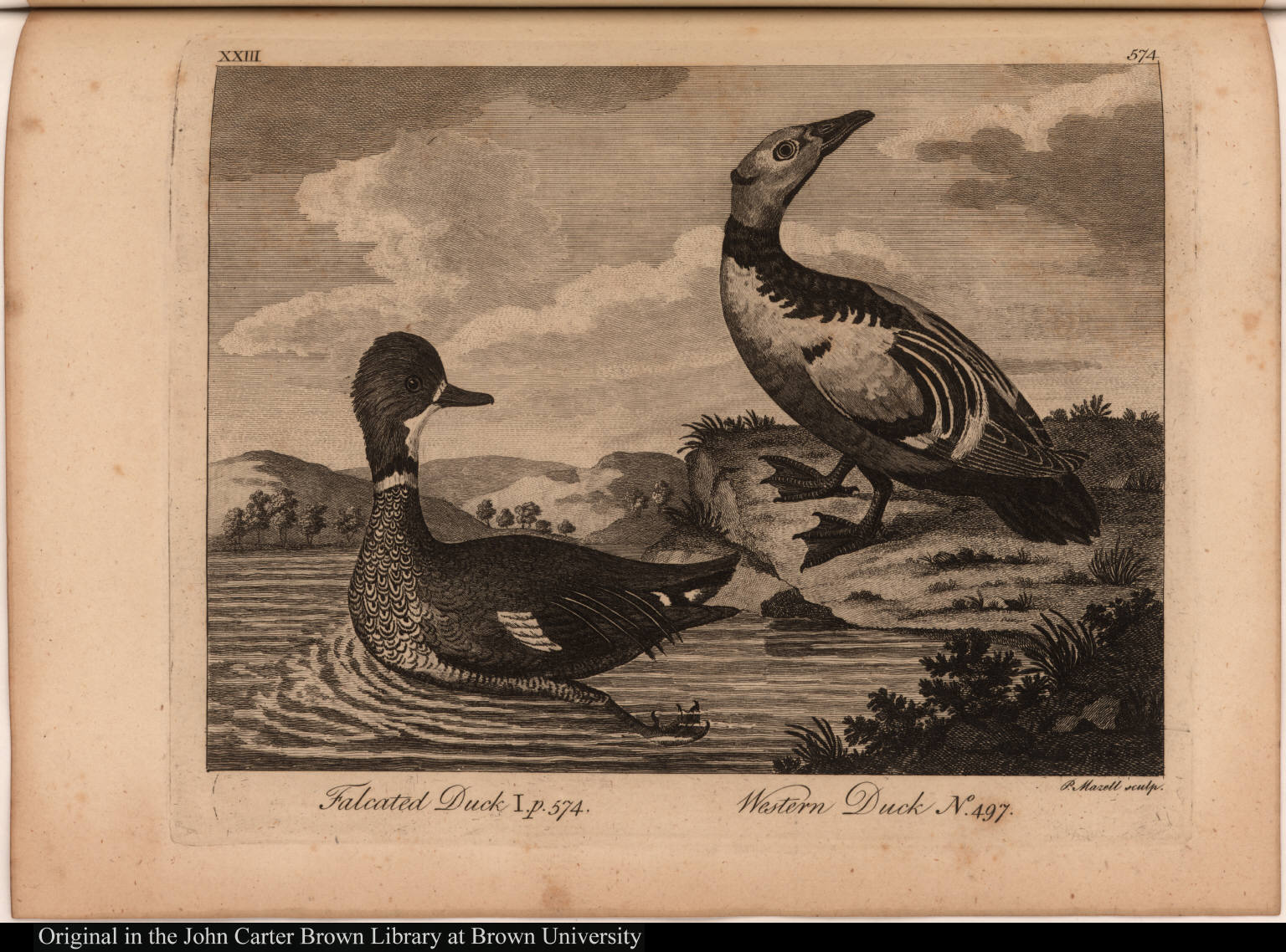 Falcated Duck I. p. 574.; Western Duck No. 497.