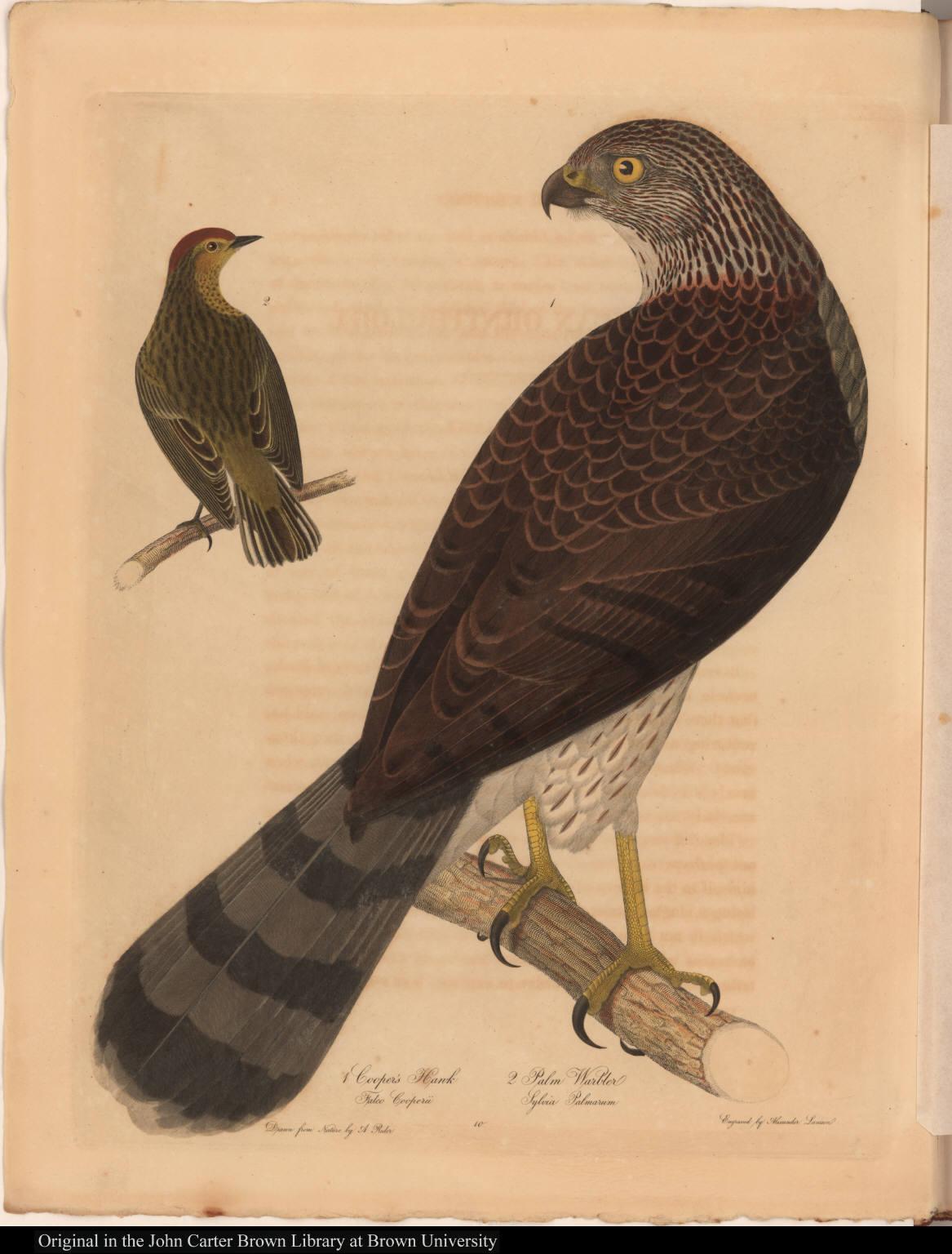 1 Cooper's Hawk Falco Cooperii 2 Palm Warbler Sylvia Palmarum
