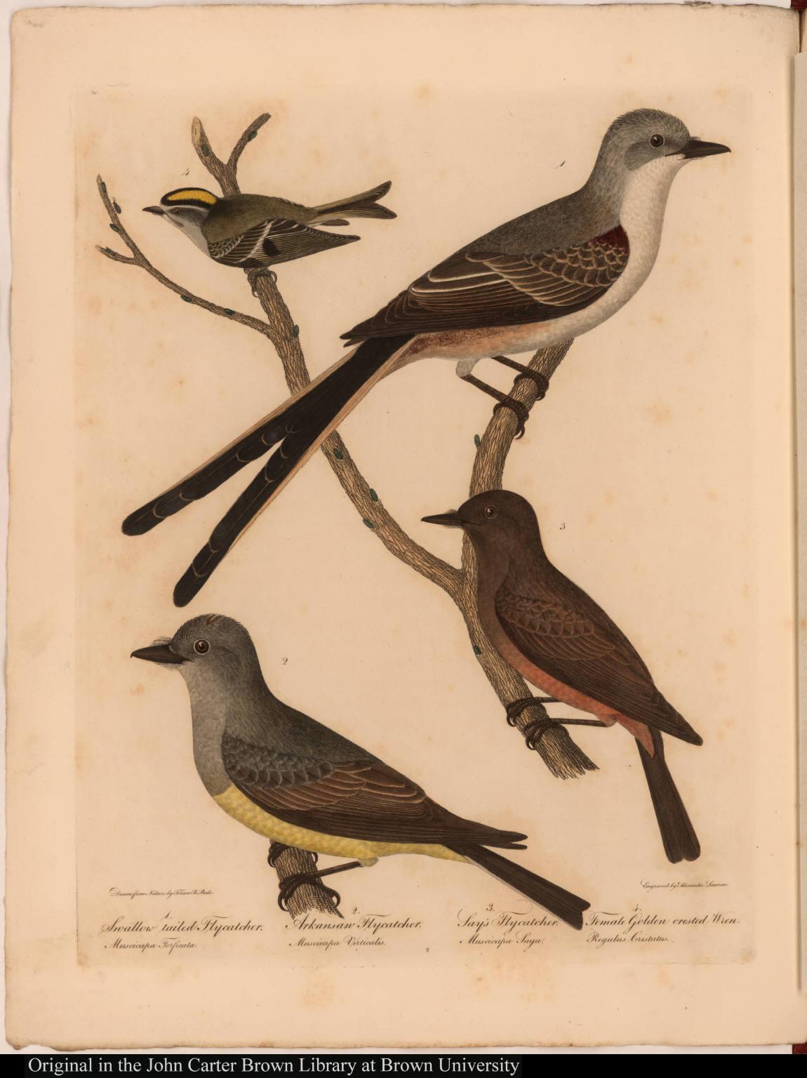 1. Swallow tailed Flycatcher. Muscicapa Forficata. 2. Arkansaw Flycatcher. Muscicapa Verticalis. 3. Say's Flycatcher. Muscicapa Saya. 4. Female Golden crested Wren. Regulus Cristatus.