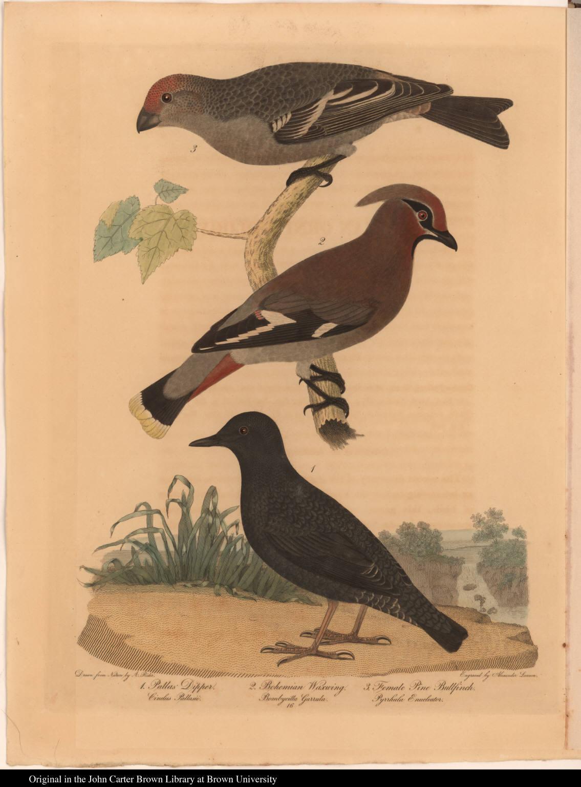 1. Pallas' Dipper. Cinclus Pallasii. 2. Bohemian Waxwing. Bombycilla Garrula. 3. Female Pine Bullfinch. Pyrrhula Enucleator.