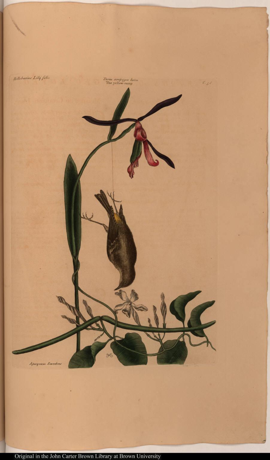 [The Yellow-rump.] Helleborine Lilij folio; Parus uropygeo luteo; The yellow-rump; Apocynum Scandens