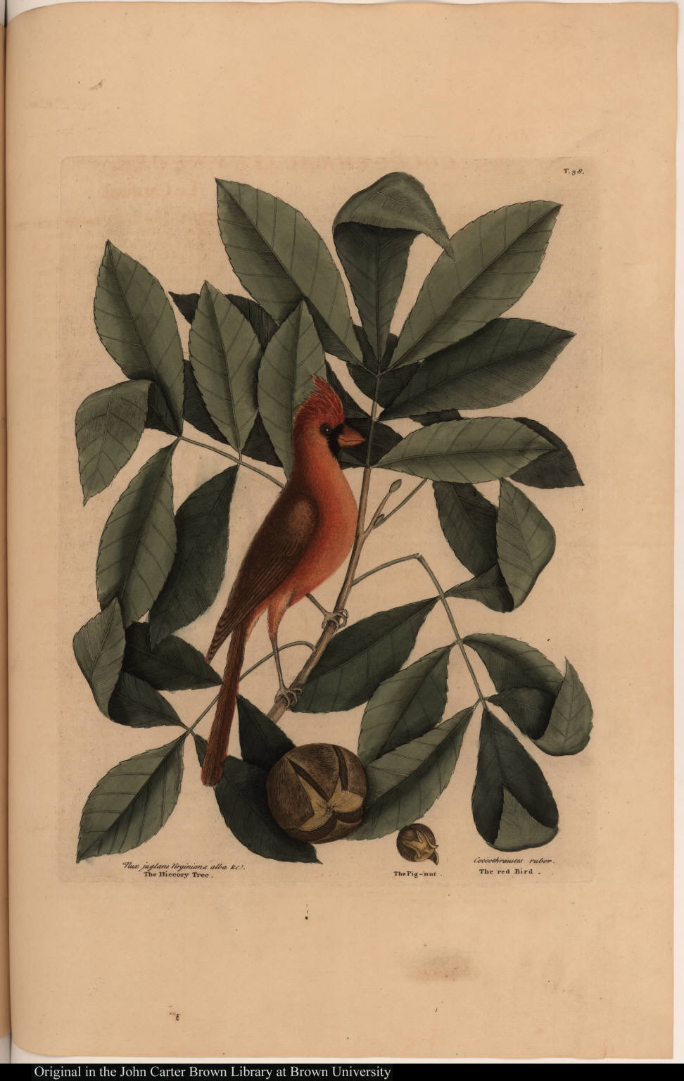 Nux juglans Virginiana alba &c. The Hiccory Tree. The Pig-nut. Coccothraustes ruber. The red Bird.