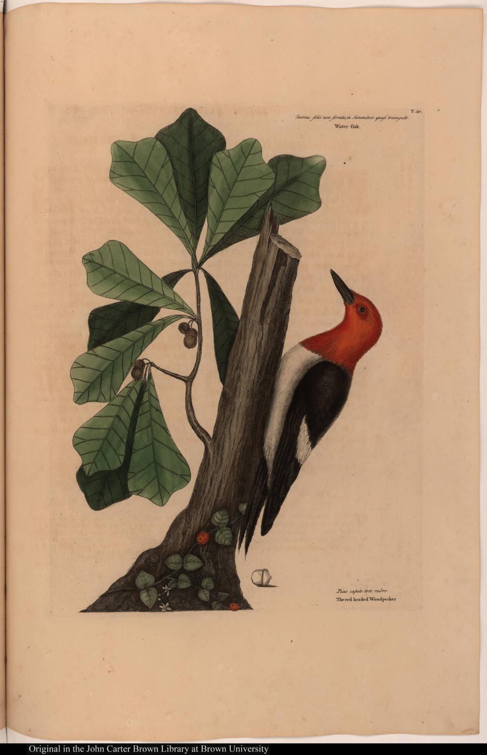 Quercus folio non serrato ... Water Oak. Picus capite toto rubro The red headed Woodpecker