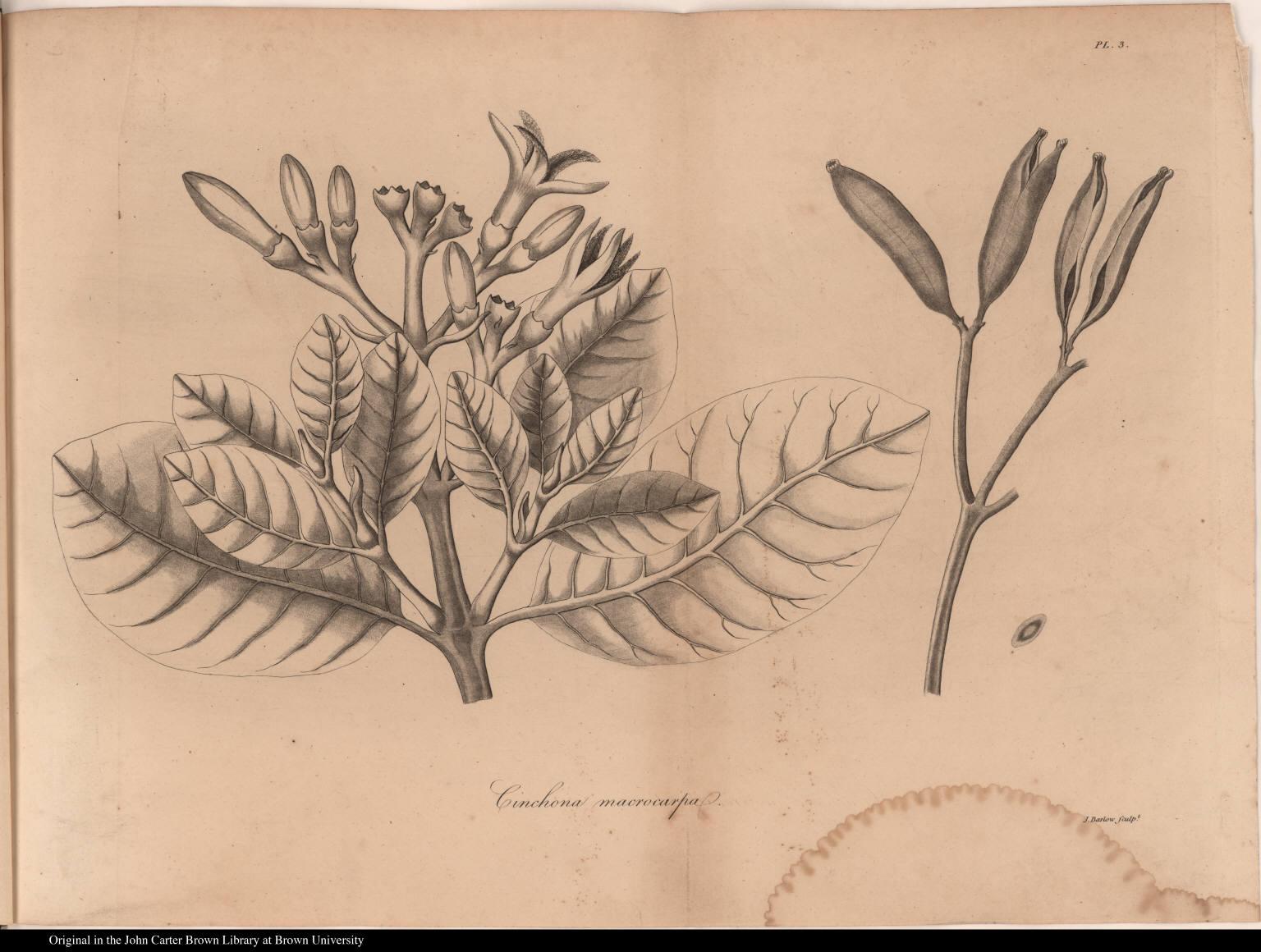 Cinchona macrocarpa.