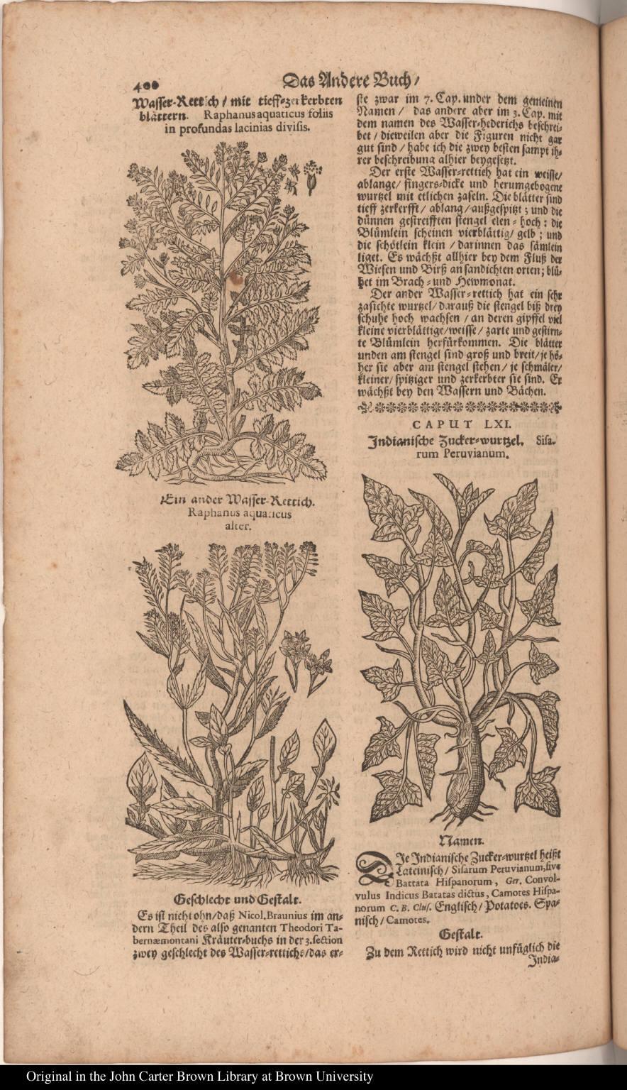 [lower right] Indianische Zucker=wurtzel. Sisarum Peruvianum.