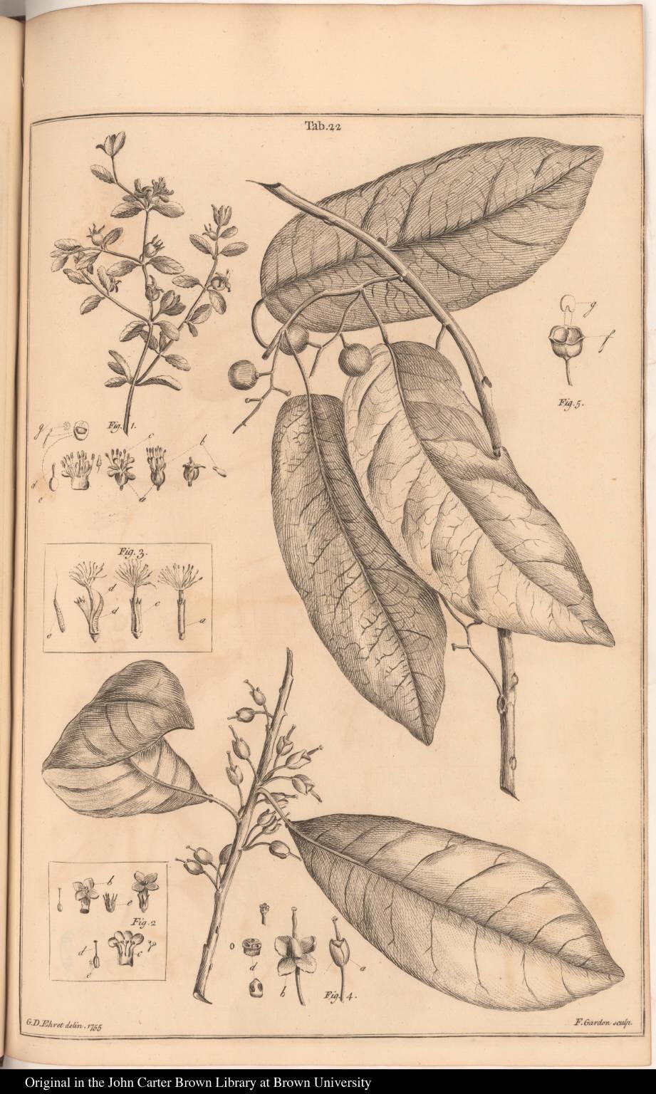 [Acisanthera, Stemodiacra, Zygia, Omphalandria, and Vimen]