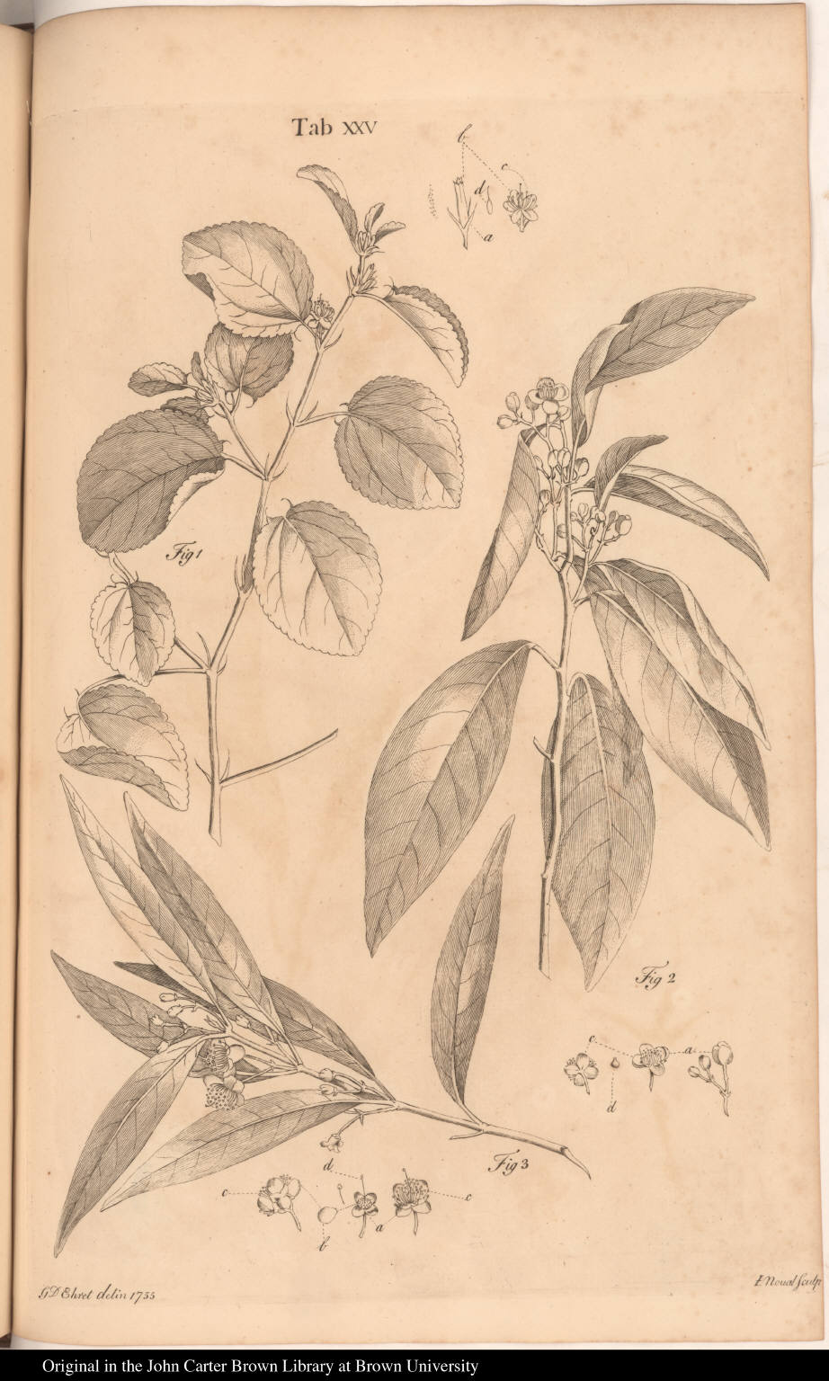[Triumfetta and Caryophyllus]