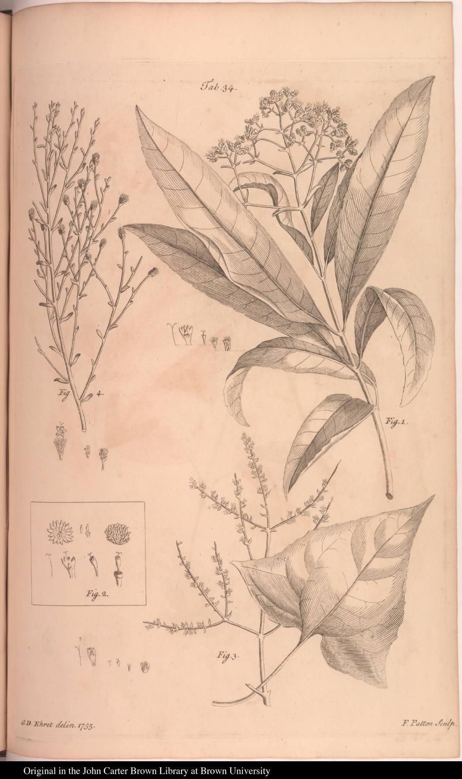 [Dalea, Struchium, Kleinia (?), and Chrysocoma (?)]