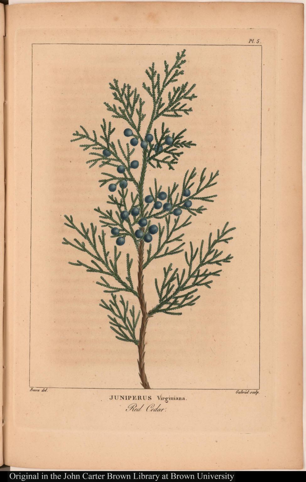 Juniperus Virginiana. Red Cedar.