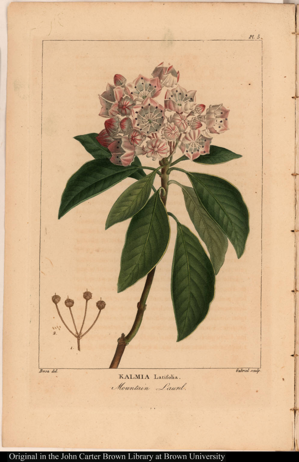 Kalmia Latifolia. Mountain Laurel.