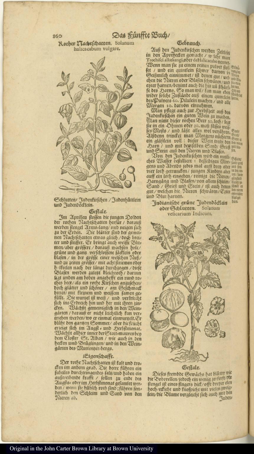 Indianische grüne Judendõcklein oder Schlutten. Solanum vesicarium Indicum.