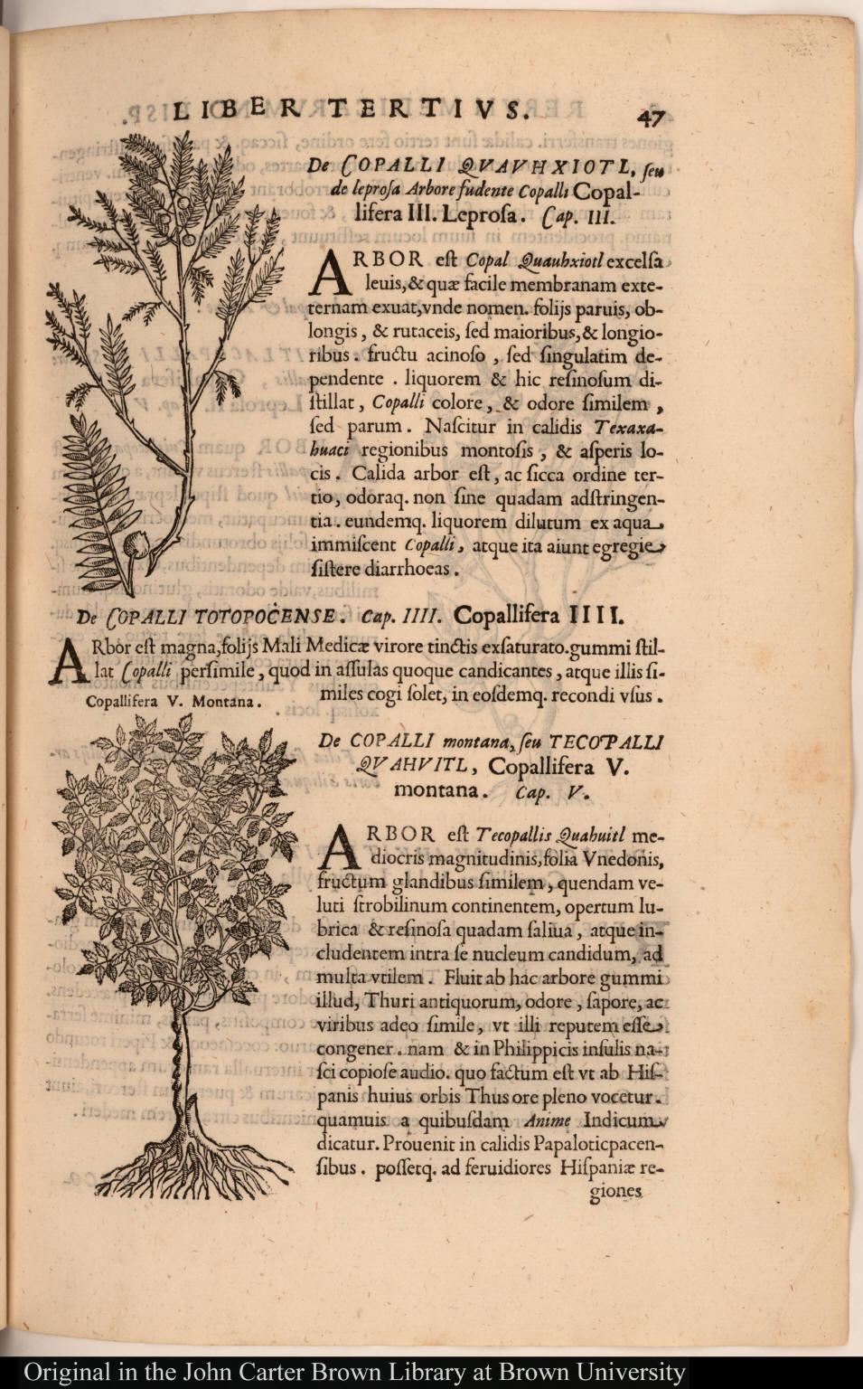 [top] [De Copalli Quauhxiotl, seu de leprosa Arbore fudente Copalli Copallifera III. Leprosa.]; [bottom] Copallifera V. Montana.