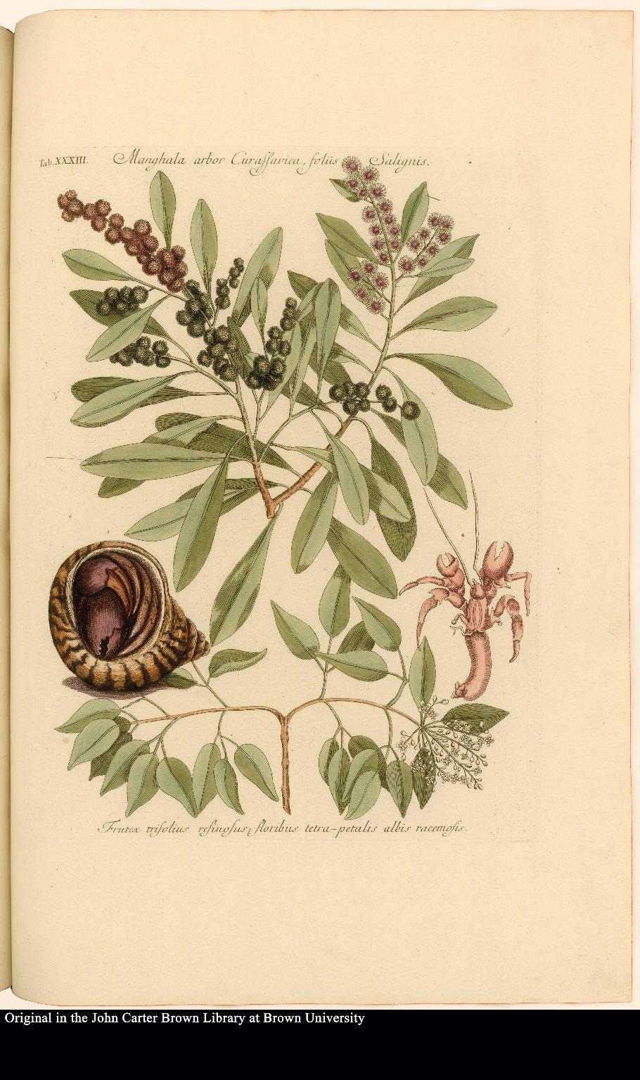Manghala arbor Curassavica, foliis Salignis [&] Frutex trifolius resinosus; floribus tetra-petalis albis racemosis [with] Hermit crabs.