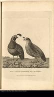 Male & Female Partridge of California
