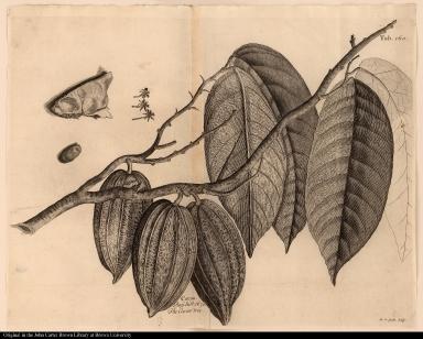 Cacao Rayl hist. 1670. The Cacao tree.