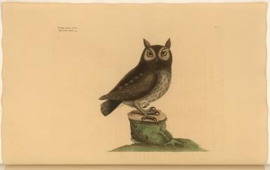Noctua aurita minor. The little Owl.