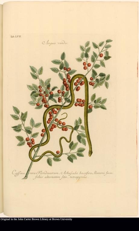 Anguis viridis. [&] Cassena vera Floridanorum, Arbuscula baccifera Alaterni facie, foliis alternatim sitis, tetrapyrene.