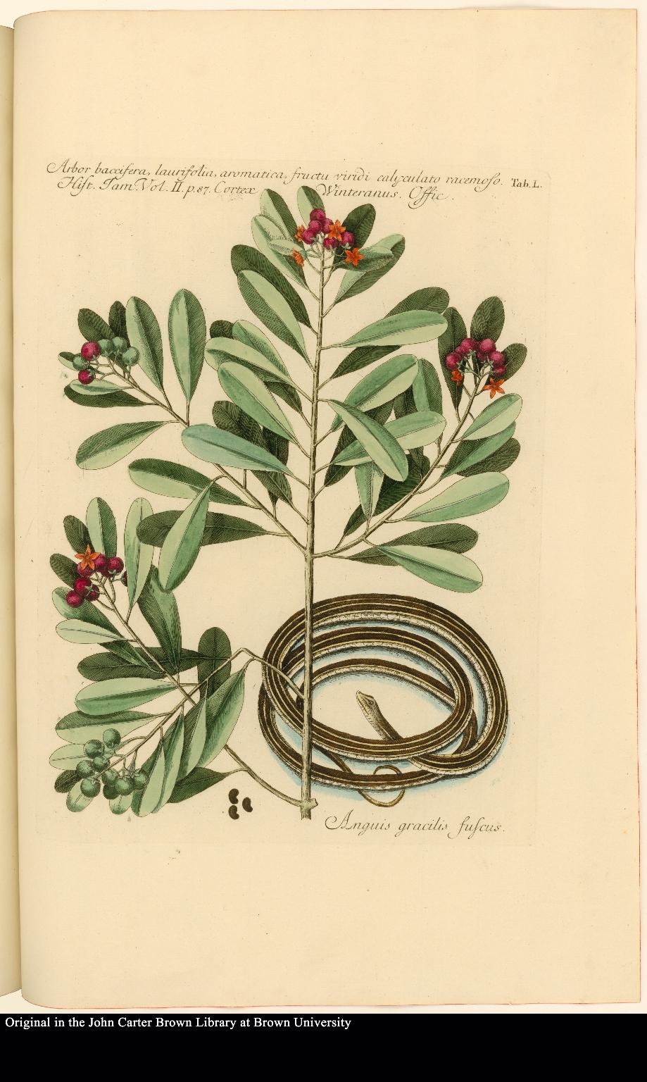 Arbor baccifera, laurifolia, aromatica, fructu viridi calyculato racemoso. [&] Anguis gracilis fuscus.